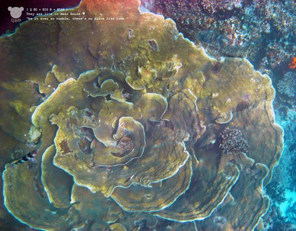 玫瑰珊瑚.jpg