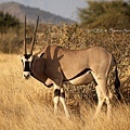 Samburu National Park ORYX
