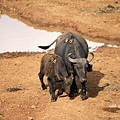 The Ark  buffalo