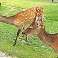 奈良鹿吐舌頭.jpg