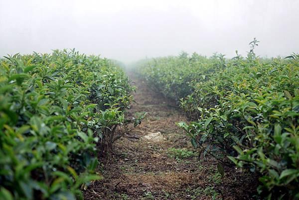 20120309茶園-4