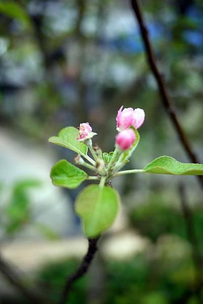 20120309茶園-蘋果花-1
