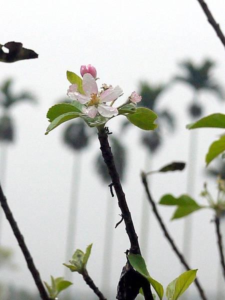 20120309茶園-蘋果花-6