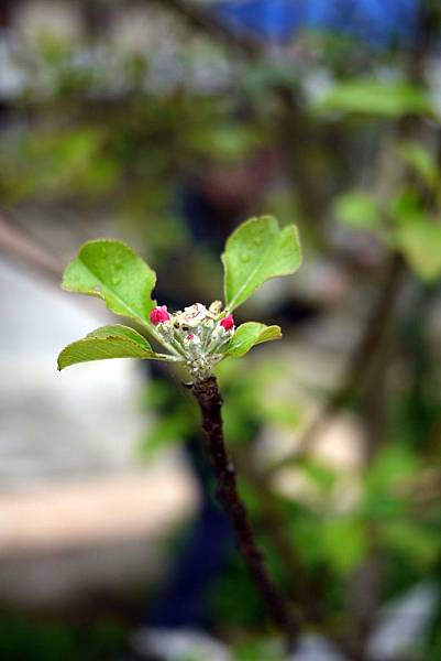 20120309茶園-蘋果花
