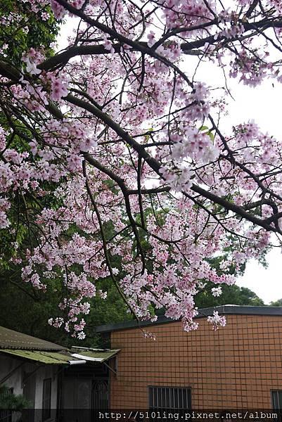 20120321天元宮櫻花-18