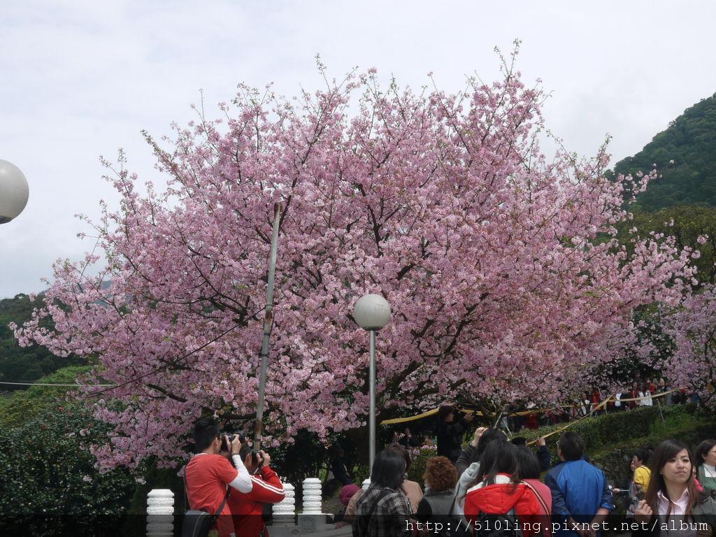 20120321天元宮櫻花-32