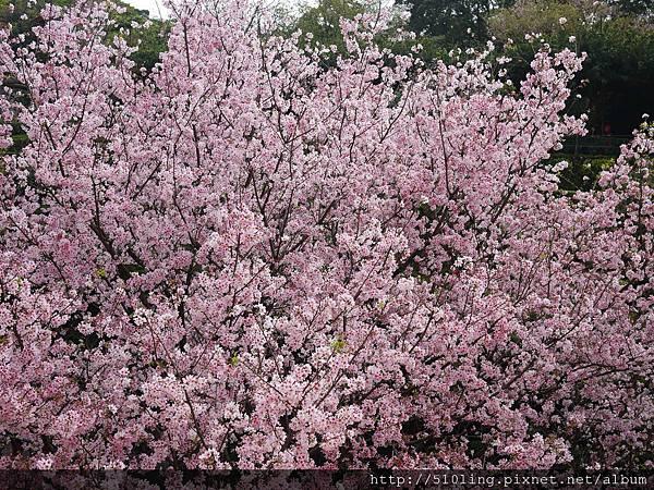 20120321天元宮櫻花-162