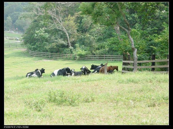 飛牛牧場的牛群