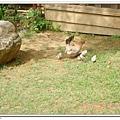 眉山居的母雞帶小雞.jpg