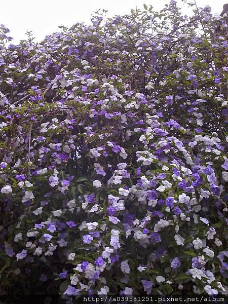 I紫色五彩茉莉花.我超愛他.剛伸展出花瓣時是深紫色.隨著開花時間增長而顏色慢慢變淡.直到花瓣成為白色時就即將掉落.五彩茉莉花有很濃郁的香味.只要一開花.整個空中花園都沉浸在它的花香中MG_20130319_100508