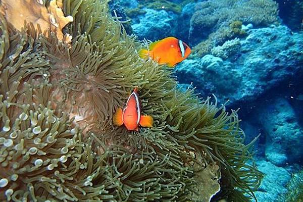 小丑魚,綠島潛水行程,綠島民宿