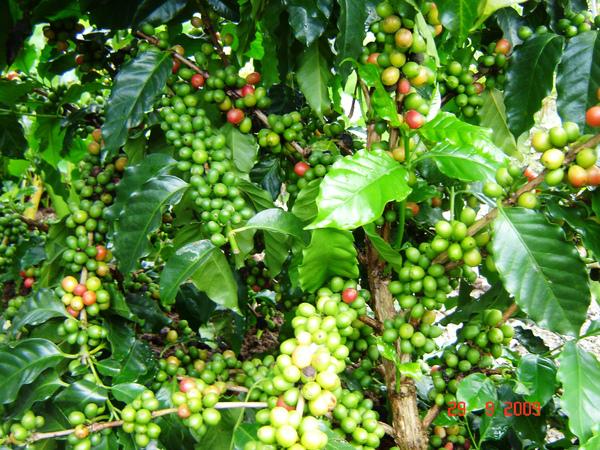 自家生產的咖啡