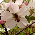 15蜜蜂採花的特寫.JPG