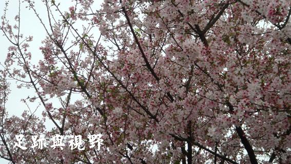 01天元宮賞櫻花.JPG