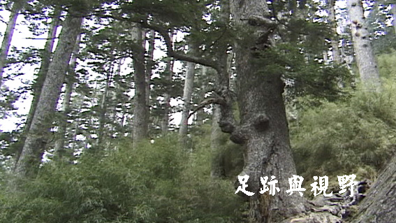 玉山圓柏林.JPG