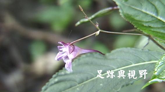 18棣慕華鳳仙花.JPG