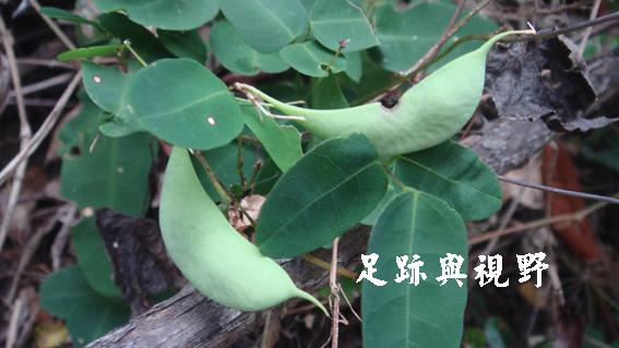 20苗栗野豇豆.JPG