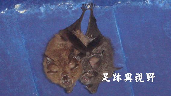 21蝙蝠.JPG