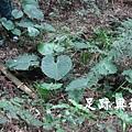 31地被的草本植物也在砲台遺址裡尋覓陽光求生存.JPG