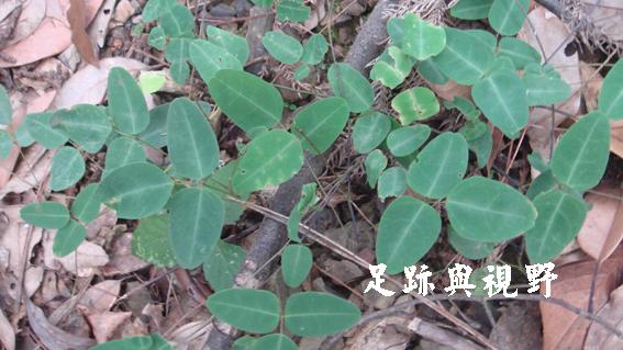 32苗栗野豇豆.JPG
