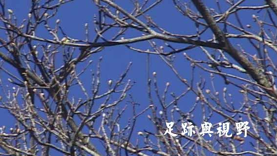 05春天在觀霧是一樹一樹抽出新芽24.JPG
