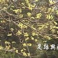 06台灣木察樹開花了