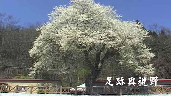 07霧社山櫻花.JPG