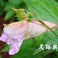 11紫花鳳仙花.JPG