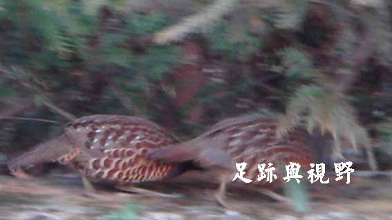 12竹雞.JPG
