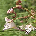16棣慕華鳳仙花.JPG