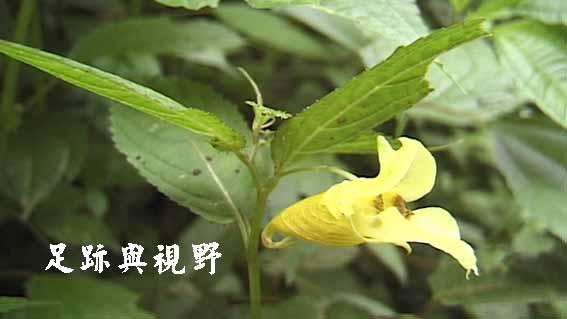 23黃花鳳仙花.JPG