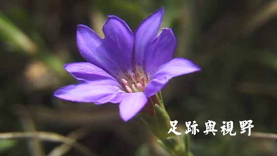 39阿里山龍膽.JPG
