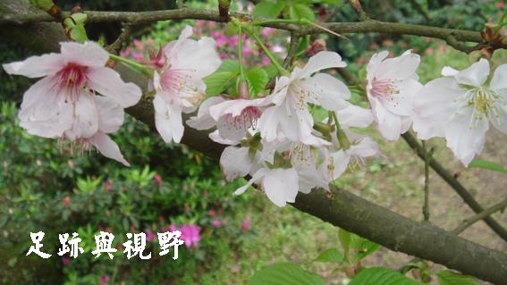 14如櫻花的特寫.JPG