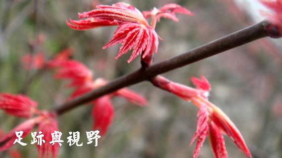 23加拿大小葉楓已經開始長新芽了.JPG