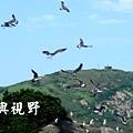 安東坑道的黑尾鷗