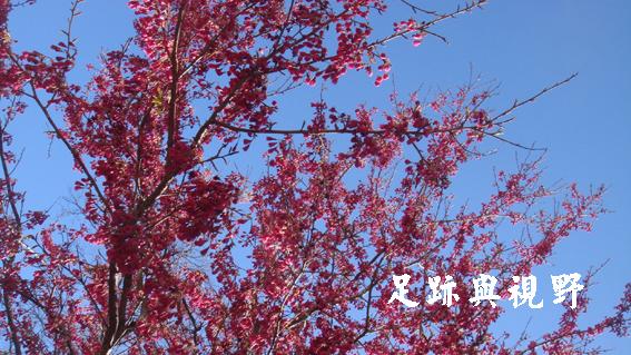 0a7山櫻花開了.JPG