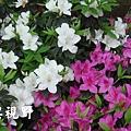 19其實盛開的杜鵑花也相當熱情洋溢.JPG
