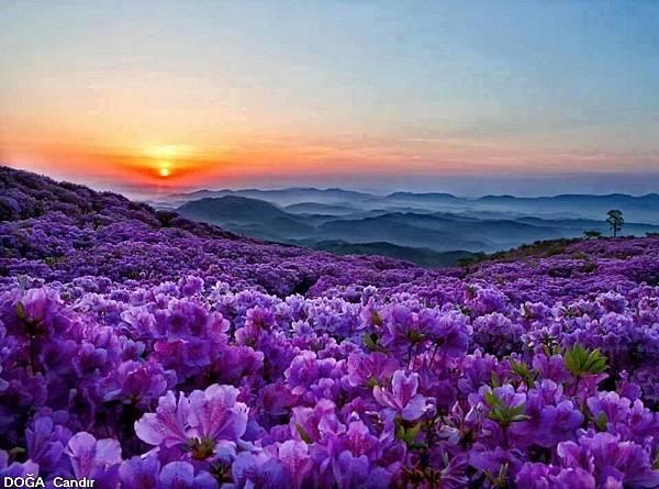 紫色花海-1