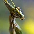 一隻威武的螳螂.jpg