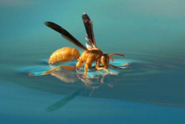水池上取水的黃胡蜂.jpg