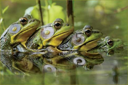 水蛙.jpg