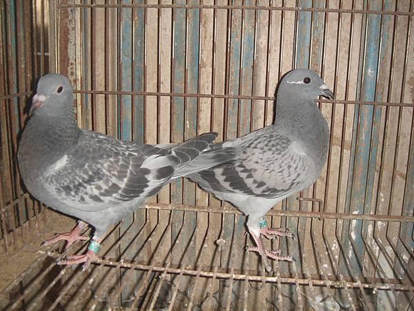 風剪系抽種幼鴿