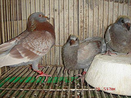 原配對公鴿