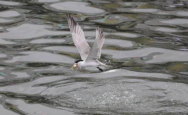 大溪漁港燕鷗1.jpg