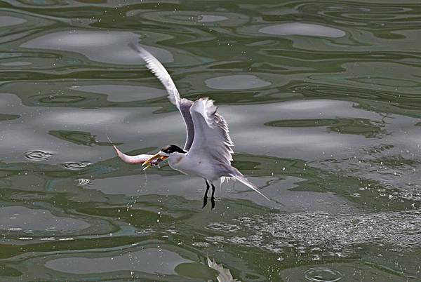 大溪漁港燕鷗2.jpg