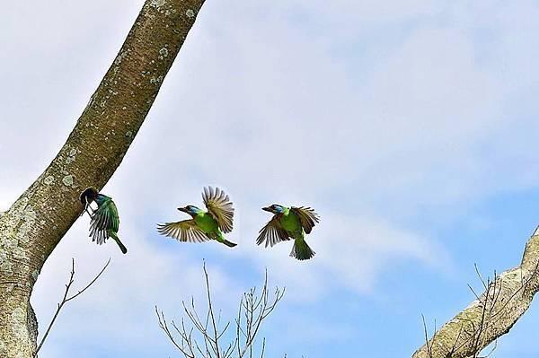 五色鳥.jpg