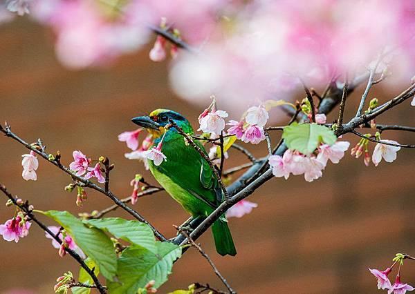 五色鳥櫻花版遮很大.jpg