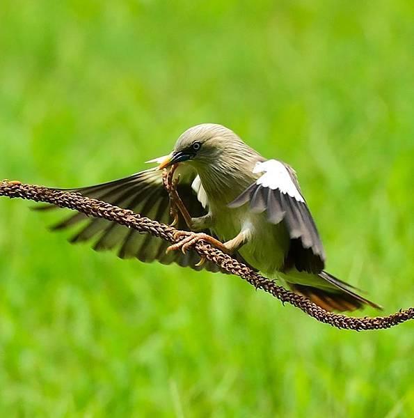 栗尾椋鳥.jpg