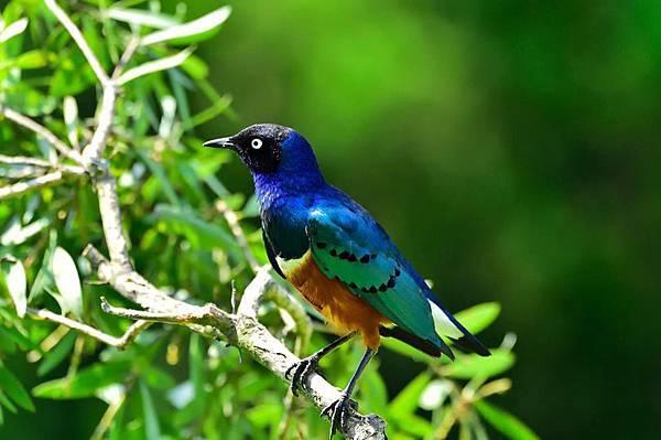 栗頭麗倞鳥2.jpg