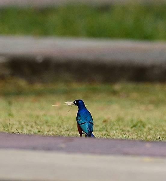 栗頭麗倞鳥3.jpg